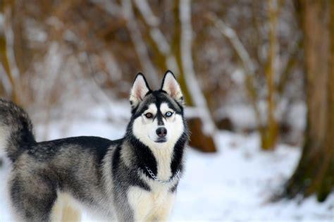 wallpaper husky siberian husky snow dogs hd wallpapers hd wallpapers