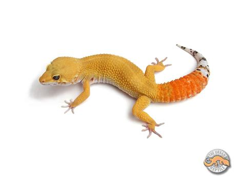 do leopard geckos need light what is so great about leopard geckos nature box pet