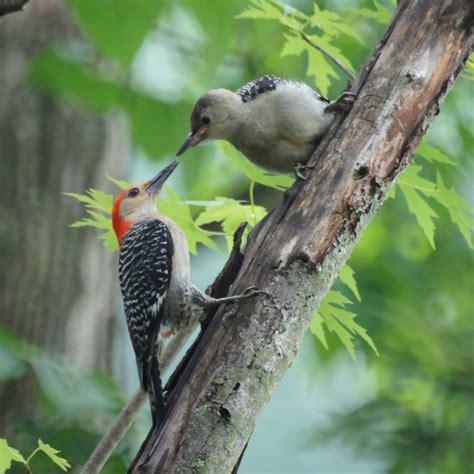 file red bellied woodpecker feeding 5823516861 jpg