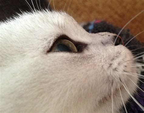 bump on s snout bump on cat cats