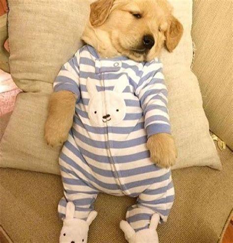 golden retriever puppy pajamas best 25 golden retriever puppies ideas on