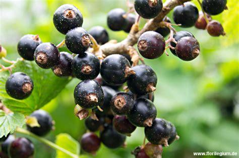 schwarze johannisbeere pflanzen 1675 schwarze johannisbeere pflanzen johannisbeeren pflanzen