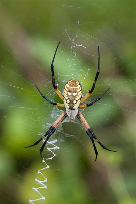 Black And Yellow Garden Spider by Black And Yellow Garden Spider Argiope Aurantia