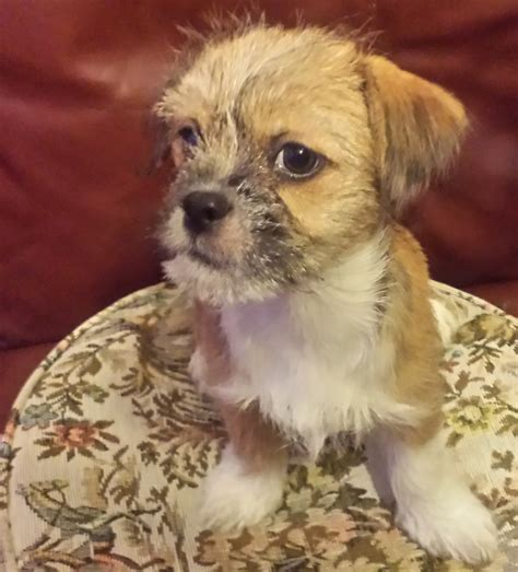 chihuahua cross shih tzu pictures chihuahua cross imperial shih tzu puppy widnes cheshire pets4homes