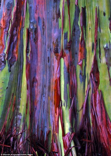 rainbow eucalyptus rainbow eucalyptus resemble colourful works of art after