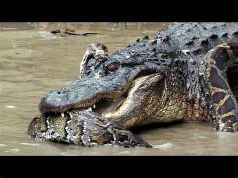 python  alligator  real fight python attacks alligator youtube