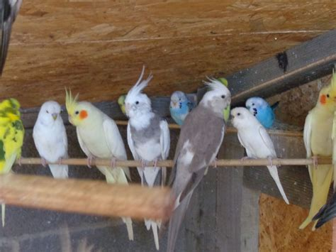cockatiels budgies and all other birds for sale march