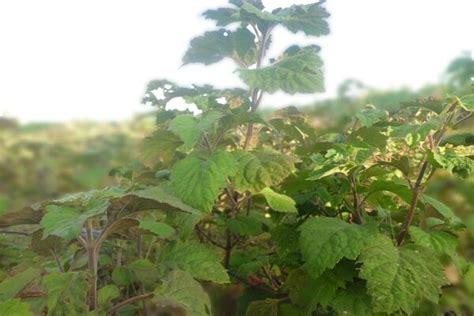 Minyak Nilam Mentah melihat lebih dekat budidaya nilam wangi di desa janjang
