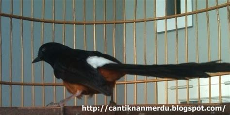 Tempat Pakan Burung Puter budidaya burung penanganan burung murai batu yang
