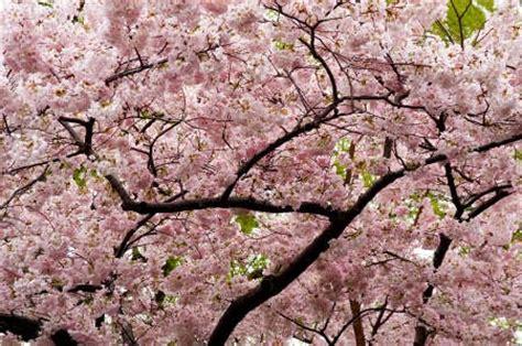 fiore di ciliegio significato underground significato fiori di ciliegio