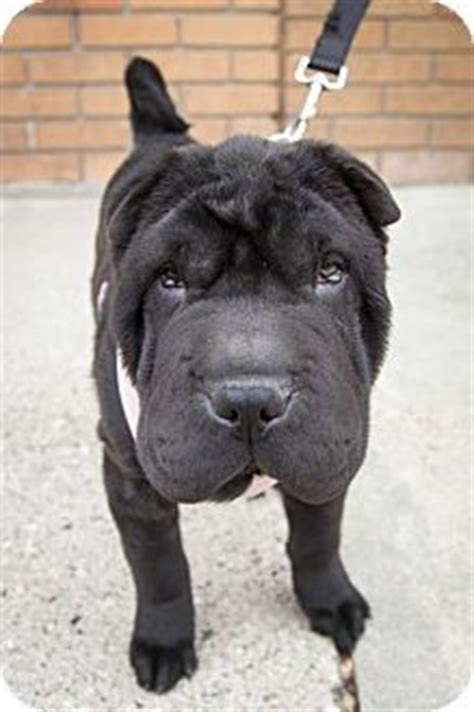 puppies for adoption st louis best 25 shar pei rescue ideas on shar pei mix dogs with wrinkles and