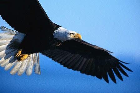 bagai rajawali kekuatan untuk terbang tinggi bagai rajawali pelita