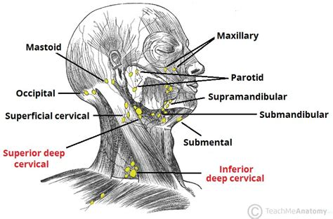 lymph nodes in neck diagram location lymphatic drainage of the and neck teachmeanatomy