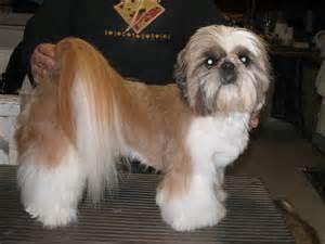 list of shih haircut shih tzu short haircut beautiful shih tzu s pinterest