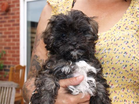 shih tzu poodle mix puppies for sale in nc shih tzu x poodle puppies for sale worcester worcestershire