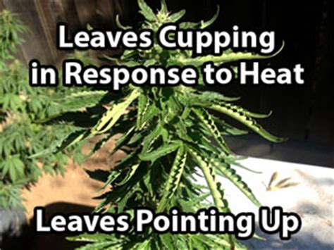 thirsty cannabis plant drooping symptoms due to underwatering marijuana grow 7 step remedy to 99 of cannabis growing problems grow easy