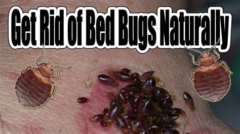 rid  bed bugs naturally youtube