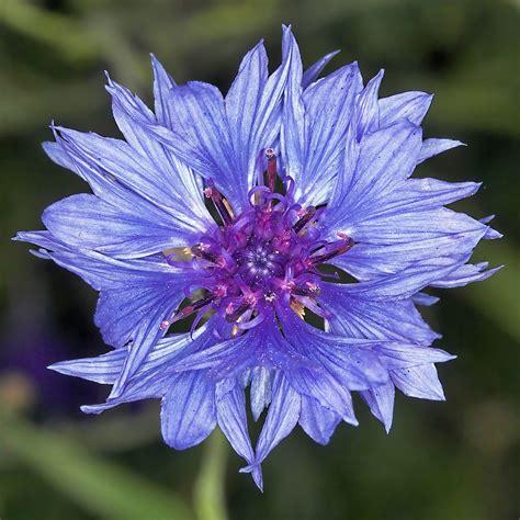 fiore fiordaliso le meraviglie mondo il significato dei fiori fiordaliso