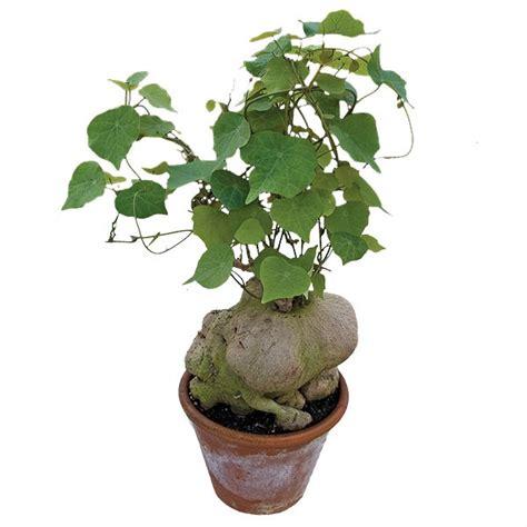 climbing rock plant stephania perrieri  pot logees