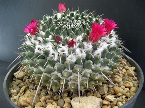 foto piante grasse fiorite piante grasse fiorite comorg net for