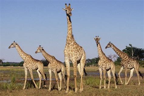 imagenes de jirafas en familia ense 241 ar a trepar a una jirafa adecuaci 243 n persona puesto