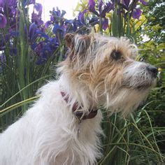 haircut ideas for long hair jack russell dogs asta my baby girl wire haired jack russell terrier mix