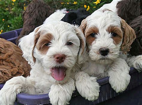 labradoodle puppies for sale oregon labradoodle puppies for sale breeder oregon pacific coast