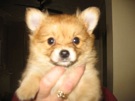 pomeranian x pomeranian x chihuahua warrington cheshire pets4homes