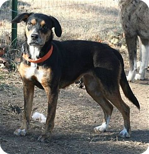 rottweiler rat terrier mix rat terrier rottweiler mix for adoption in melbourne arkansas