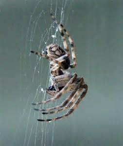 Garden Spider Pacific Northwest Pacific Northwest Orb Spider Larinioides Sericatus
