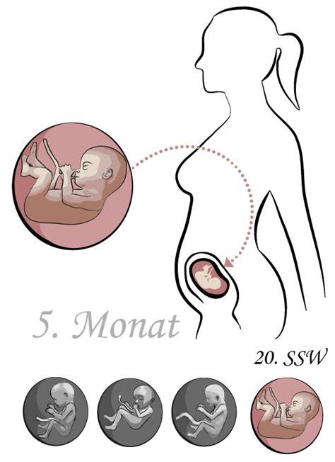 ab wann sieht das geschlecht des kindes 20 ssw die 20 schwangerschaftswoche alle infos 20 ssw