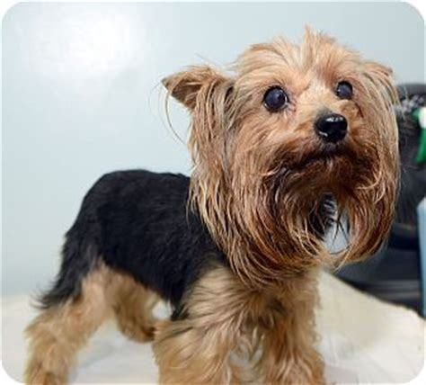 new york yorkie shirley adopted new york ny yorkie terrier