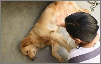 golden retriever loss of appetite kidney stones in golden retriever dogs