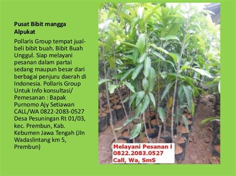 Bibit Alpukat Bandung jual bibit tanaman buah dalam pot jual bibit mangga