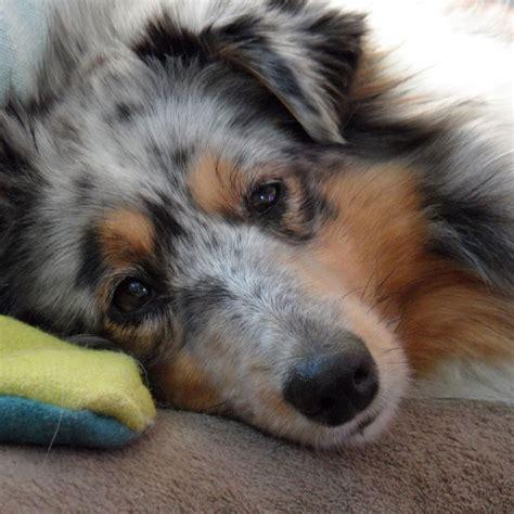 blue merle sheltie puppies blue merle sheltie puppy www imgkid the image kid has it