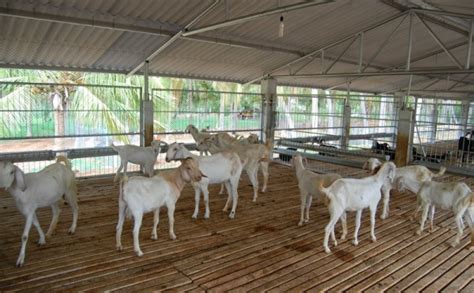 Pdf Cheap Small Farms For Sale Carolina by Broiler Goat Rearing Information Guide Goat Farming
