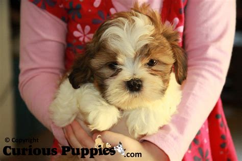 puppies for sale ontario shichon puppies for sale dogs for sale puppies for