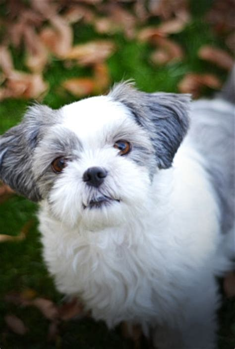 shih tzu pregnancy signs how to tell if a shih tzu is assistedlivingcares