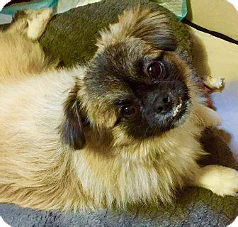 pug rescue island ny staten island ny pomeranian pug mix meet fluffy a for adoption