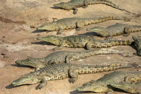 hocico de cocodrilo en cartulina 191 cu 225 l es la diferencia entre cocodrilo y caim 225 n difiere