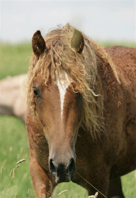 home american bashkir curly horse registry