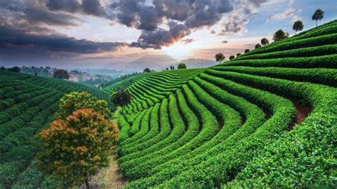 tea plantations  sky  sunset china windows