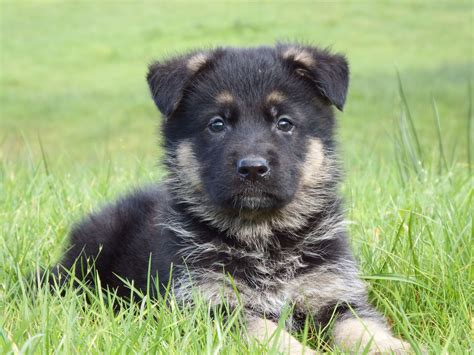 german sheperd puppies for sale german shepherd puppies for sale bridgend bridgend pets4homes