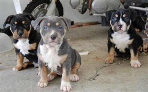 tri colored pitbull tri colored pit bull puppies beautiful pit bulls