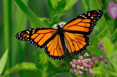 monarch butterfly monarch butterflies beyondbones