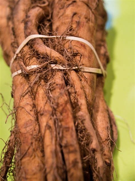 planting salsify growing salsify   garden plant