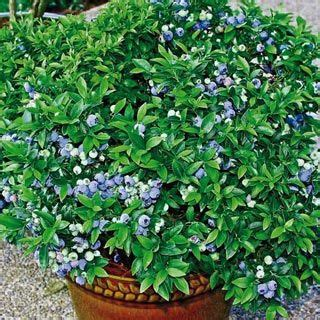 top hat blueberry patio kit 31 best images about fruit trees and bushes zone 4 on