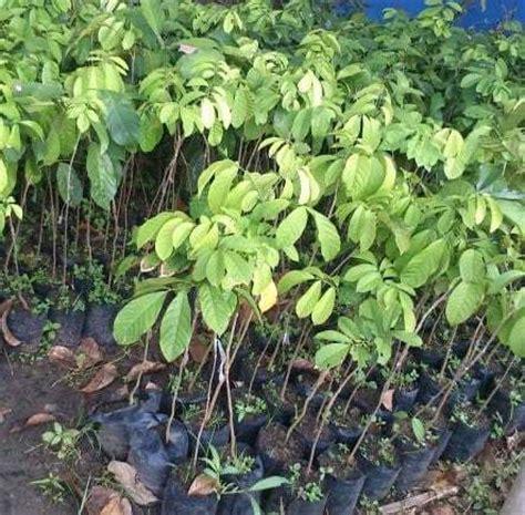 Bibit Buah Duku Palembang cara menanam buah duku dan perawatannya bibit