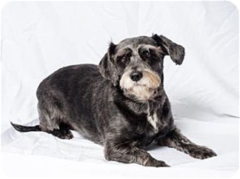 tulsa adoption tulsa ok schnauzer standard poodle miniature mix meet rachael a for adoption