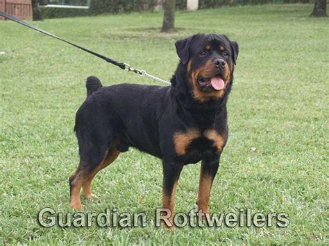 rottweiler puppies for sale in miami rottweiler puppies for sale miami photo